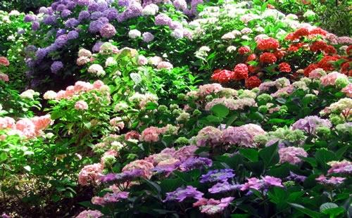 hydrangea-garden